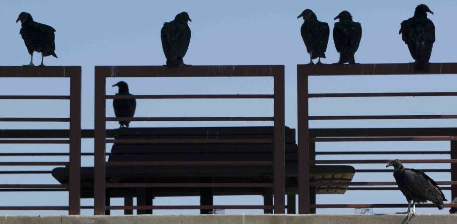 Vultures hang out near Woodlands Parkway on Lake Woodlands. These birds act as natures cleanup crew around the area. Photo: Jason Fochtman