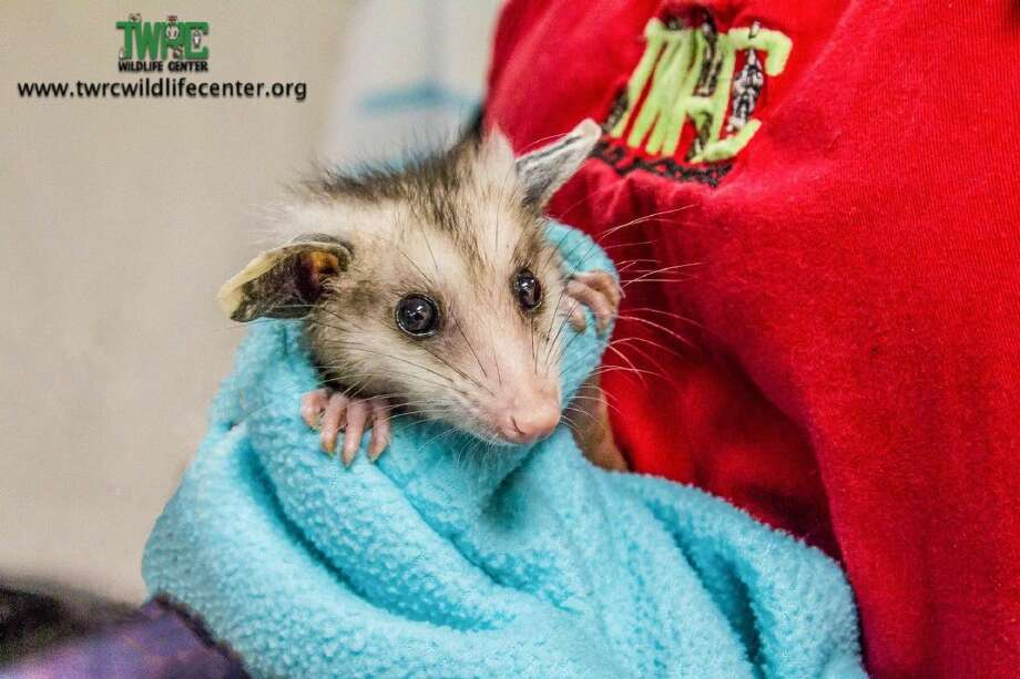 Opossums are coming into the TWRC Wildlife Center due to recent flooding in Houston. In some cases, the opossums are too young to fend for themselves when they are separated from their mothers.