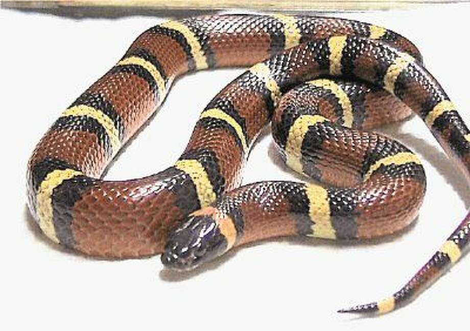 "Summer time is often considered ""snake time"" in Texas because it is when snakes are more visible and snakebites are more predominant."