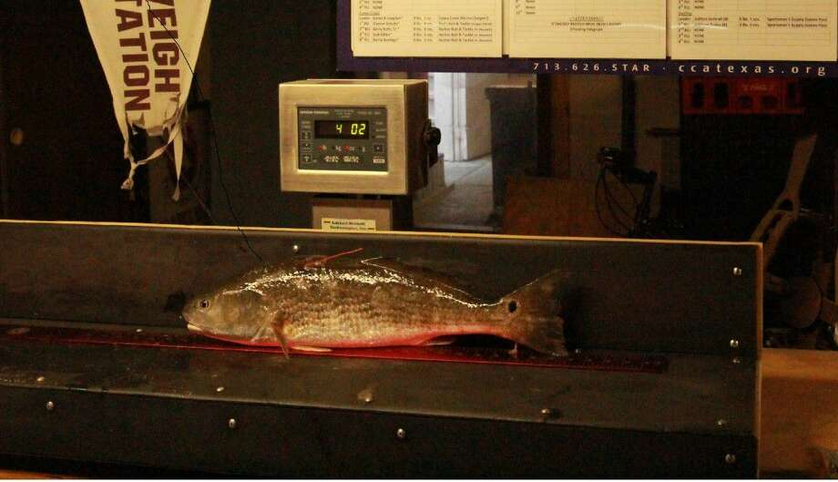The redfish at weigh in.