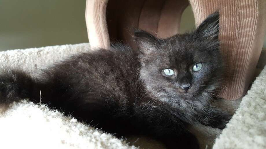 Bumper is a beautiful black and gray, long-haired kitten who was rescued from a car bumper. He is now available for adoption at Friendswood Animal Control.