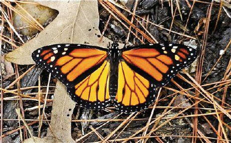 An adult monarch butterfly.