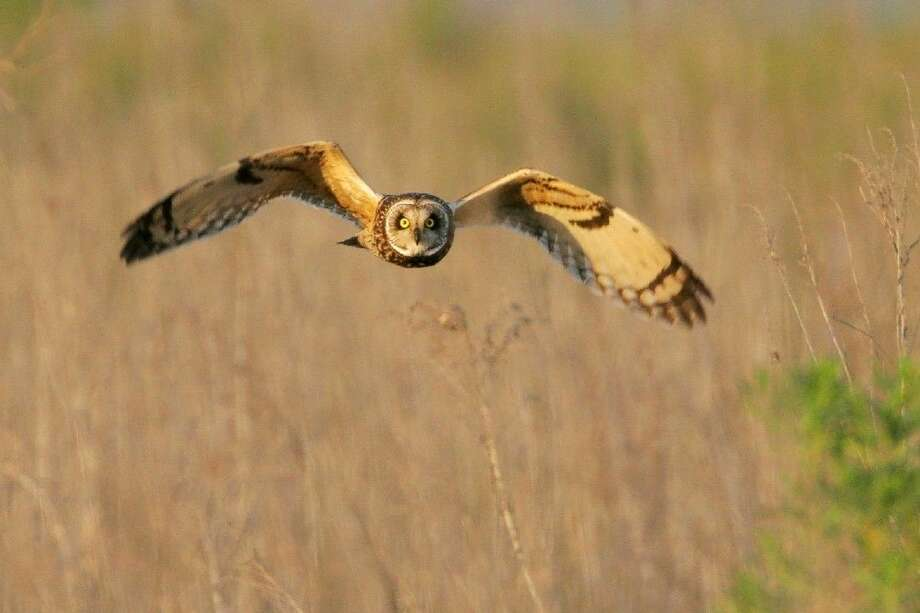 """The Shorteared Owl is just one of the owls that could be spotted during Katy Prairie Conservancy's Wild West Tour """"Owl Prowl"""" on Dec. 12 from 6 p. - 9 p.m."""