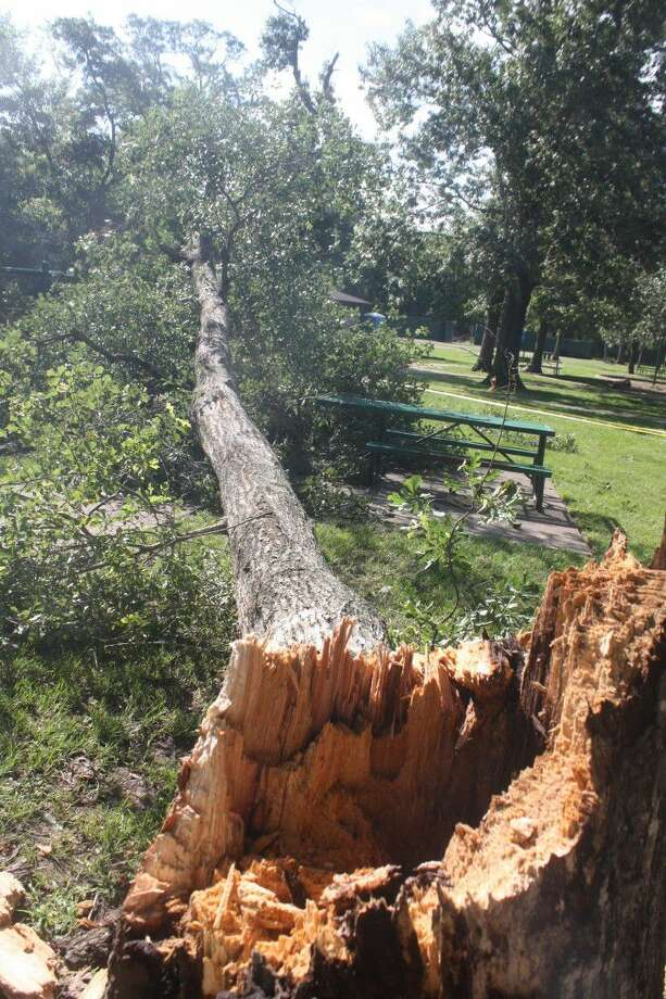 A strong storm brought this large tree down in Bay Area Park Saturday night, missing a picnic table by inches as well as a swing set. It did damage a bench. Then Sunday morning when there was no storm, a tree inside the dog park came crashing to the ground. Photo: Robert Avery