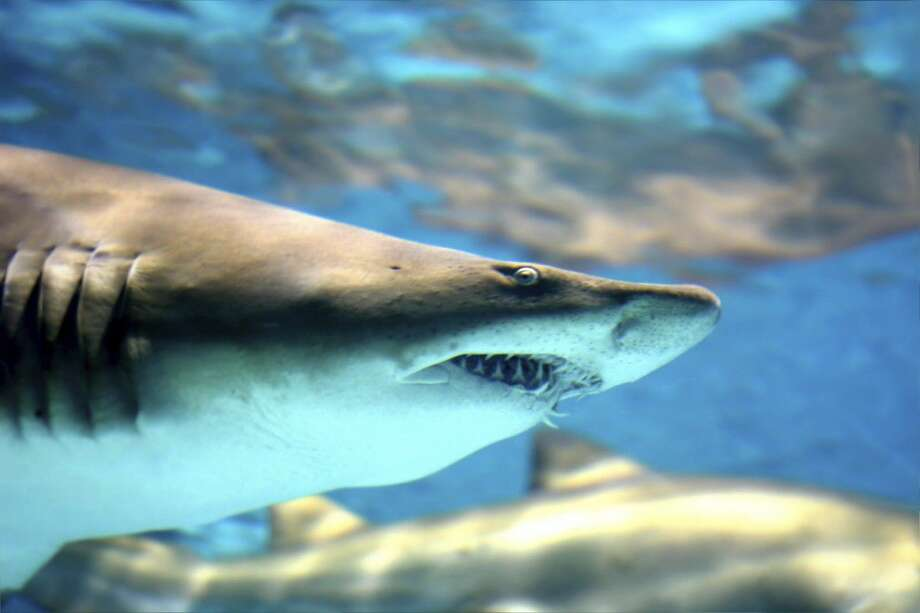 Moody Gardens invites visitors to Shark University Week from June 26 through July 2. Photo: Courtesy Photo
