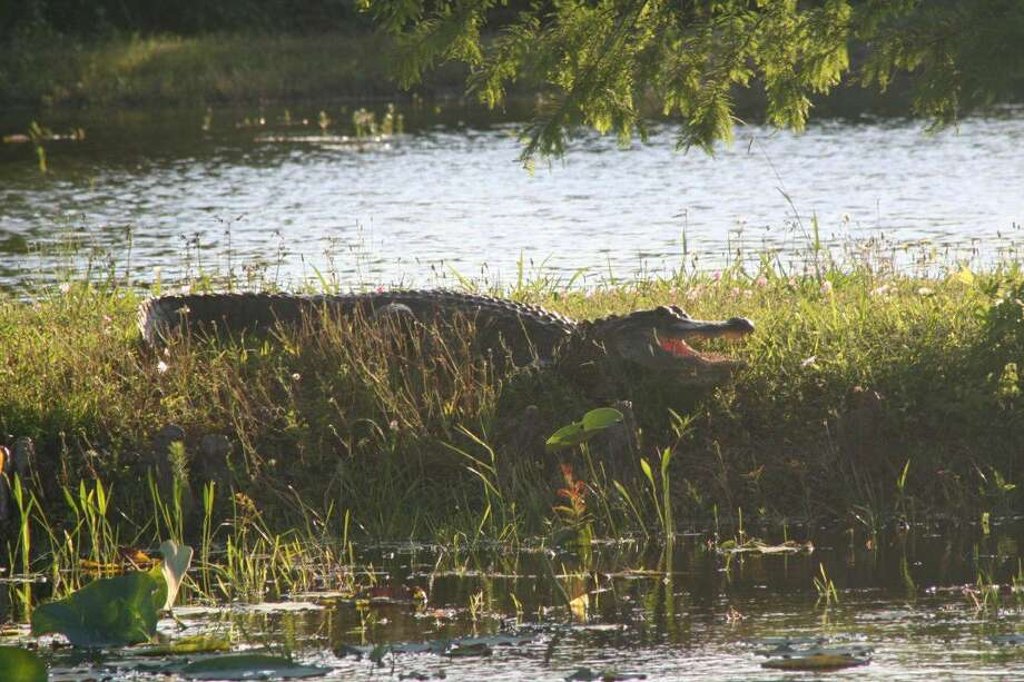 Sheldon Lake State Park is home to roughly 100 alligators, ranging in size for foot-long babies to 10-foot, full-grown adults.