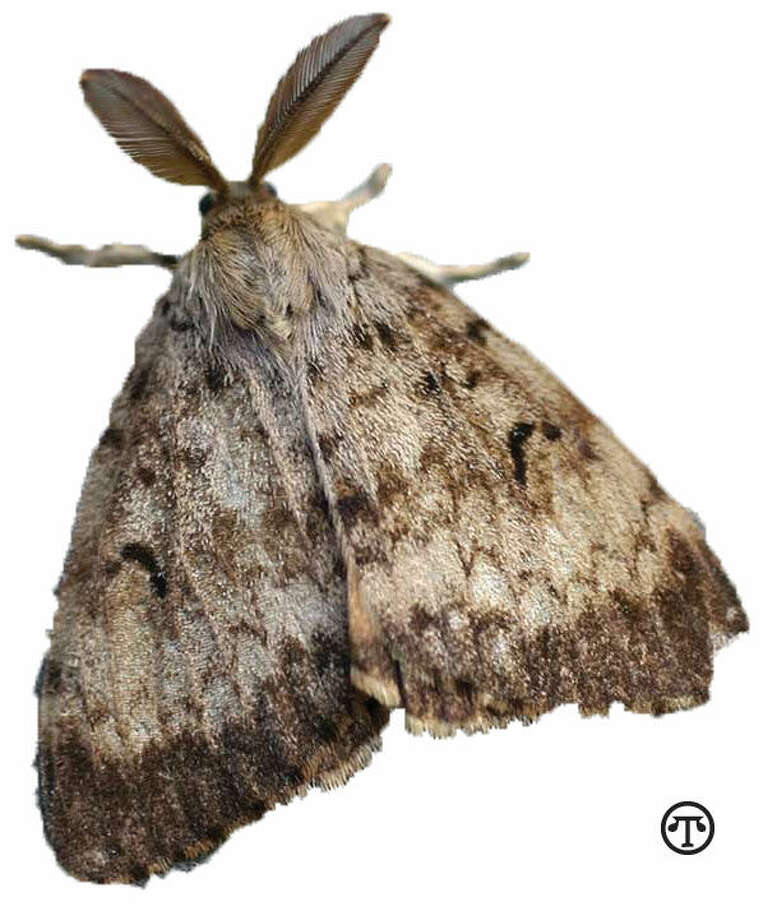 When you move, preserve your new neighborhood. Don't bring in gypsy moths. (NAPS)