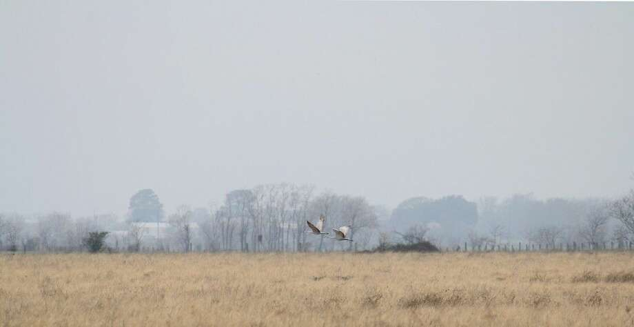 The Katy Prairie Conservancy is hosting three days of Holiday Hikes in late December, where folks can watch for all sorts of birds, including the sandhill cranes pictured here.
