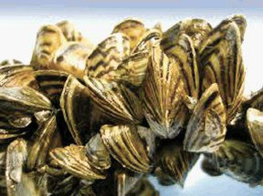 Zebra mussels can clog public-water intake pipes, harm boats and motors left in infested waters, completely cover anything left under water and litter beaches with their sharp shells.