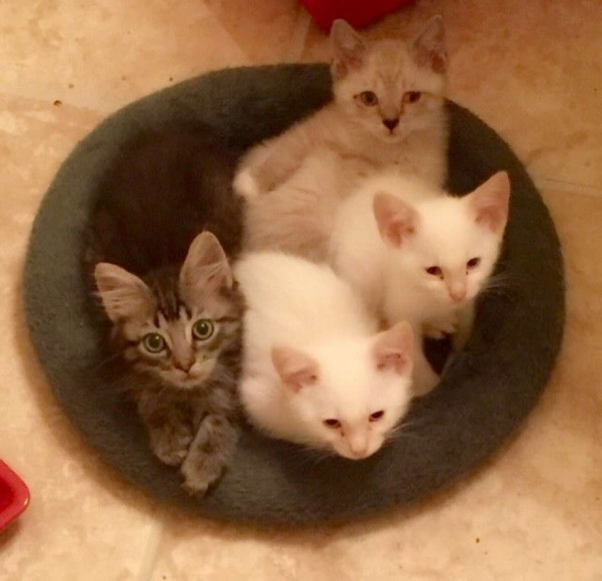 These kittens were rescued from feral colonies in the community and are available for adoption.