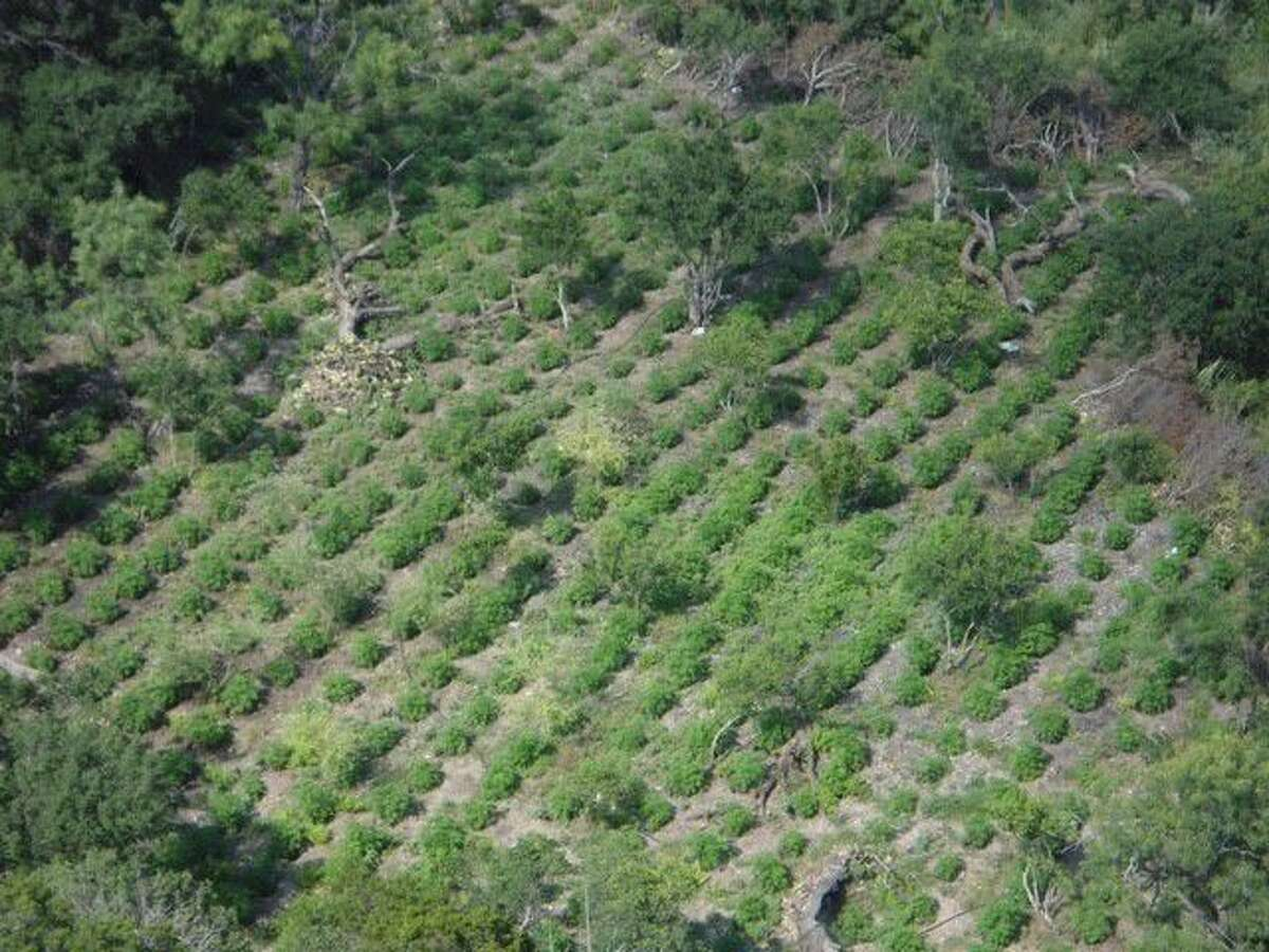 An aerial photo shows the extent of a marijuana operation in Menard County.