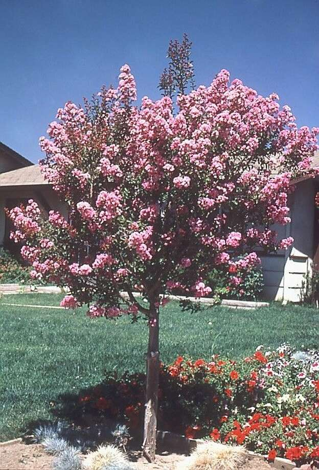 Residents of Texas can ring in the New Year with five free crapemyrtle trees by joining the Arbor Day Foundation any time during January 2015.