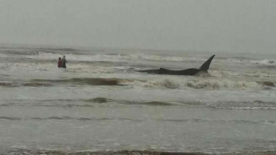 This whale discovered on a Galveston beach Tuesday morning later died.
