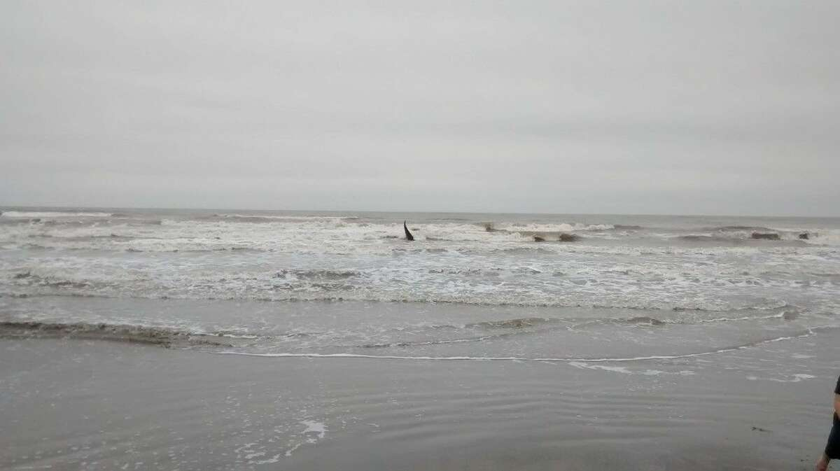 The whale near a sand bar.