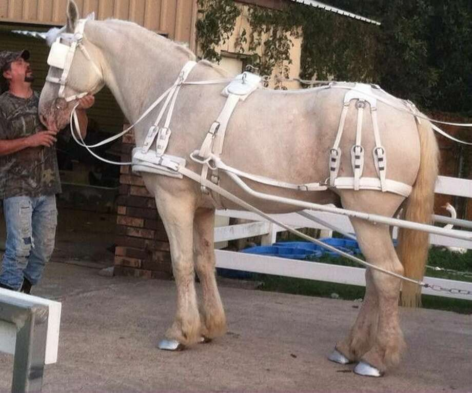 White, custom-made harnesses like the one pictured above were taken Christmas Eve from a horse trailer owned by Platinum Carriage Company, which provides horse-drawn carriage rides around Market Street in The Woodlands. Those carriage rides will stop until the harnesses are found or replacements made.