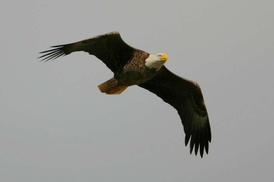 The bald eagle is just one of the birds that could be spotted during the Christmas Bird Count on the Katy Prairie Jan. 1