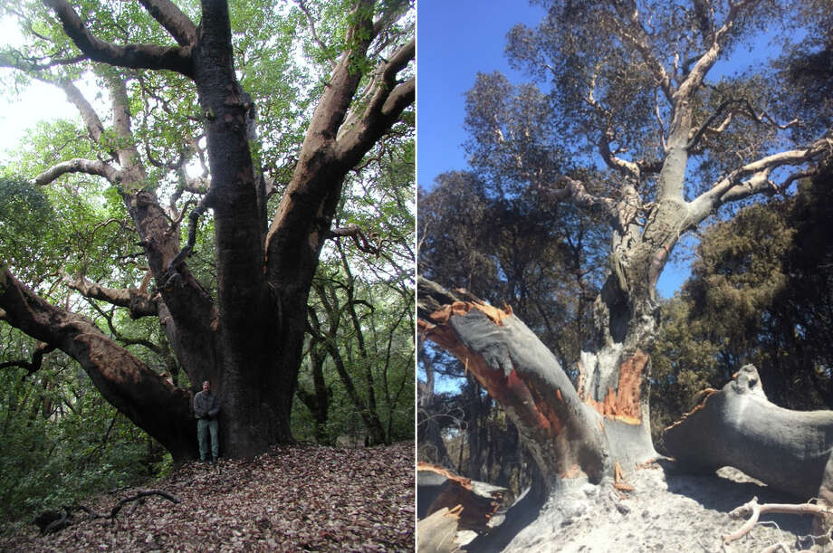 The largest madrone tree in the United States in 2007 (left) and in 2016 (right). The tree, located in Joshua Creek Canyon Ecological Reserve in Monterey County, was severely burned in the Soberanes Fire. Photo: California Department Of Fish And Wildlife