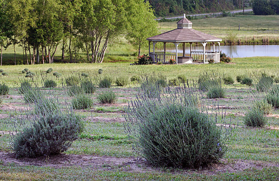 The Chappell Hill Lavender & Berry Farm hosts the 12th annual Lavender and Wine Fest on Saturday, Aug. 13, from 9 a.m. to 3 p.m.