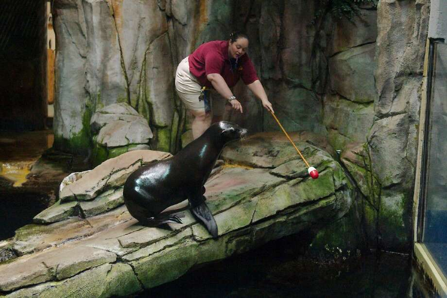 Seal handler and trainer Maggie Reynolds encourages Sam, a 2-year-old sea lion, to explore his new home at the North Pacific Exhibit in the Aquarium Pyramid at Moody Gardens Friday, July 22. Photo: Kirk Sides