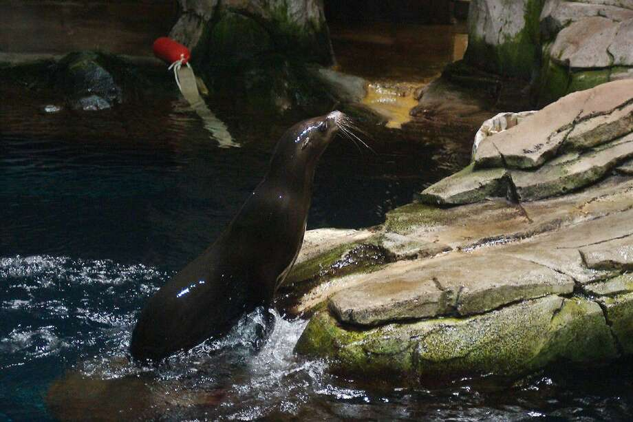Sam, a two-year-old sea lion, explores his new home at the North Pacific Exhibit in the Aquarium Pyramid at Moody Gardens Friday. Photo: Kirk Sides