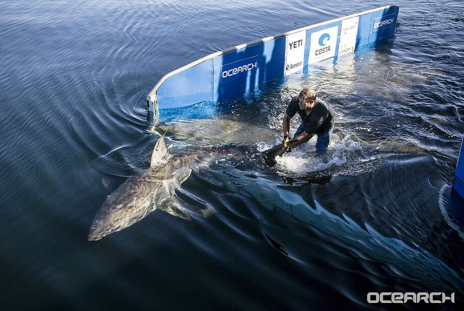 A great white shark swims away after researchers tagged her off Nantucket, Mass. White shark nurseries hasn't been as well-studied on the East Coast as it has along the California coast. Photo: Robert Snow, Associated Press