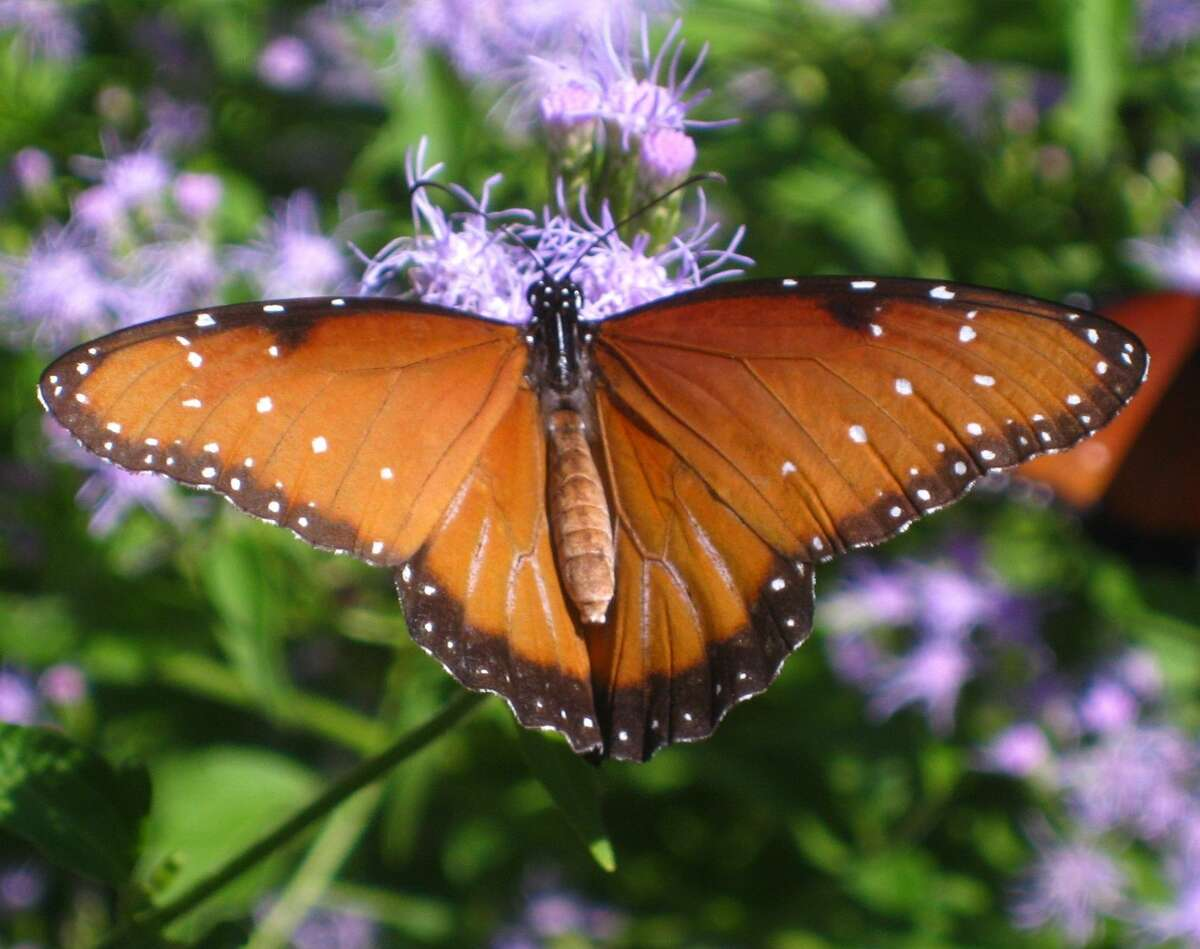 A queen butterfly rests on a native mistflower.