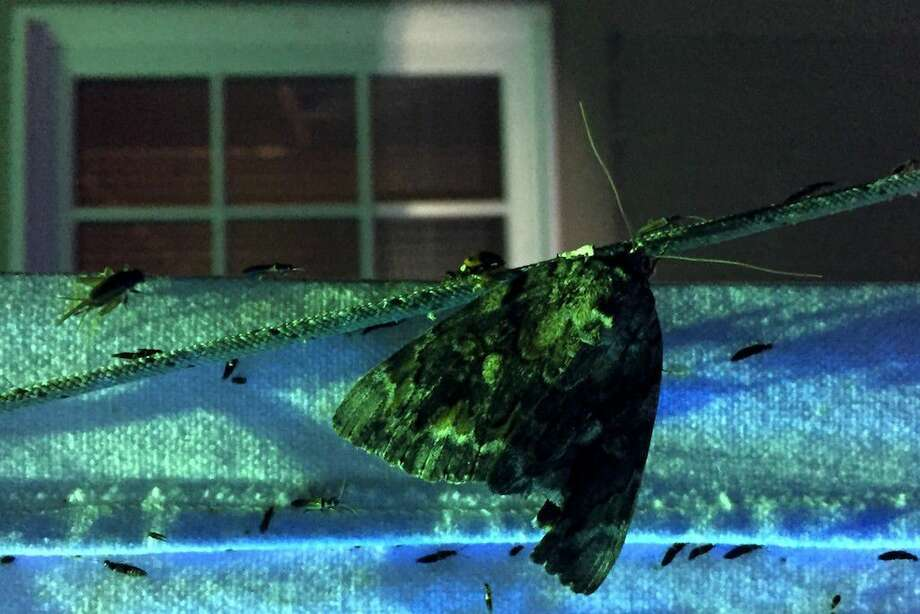 This large moth with a battered wing, a lady bug, a small cricket and thousands of other insects were coaxed by the glow of a mercury vapor lamp into attending Moth Night Out at the Trinity River National Wildlife Refuge headquarters on Saturday, July 23, 2016. Photo: Casey Stinnett