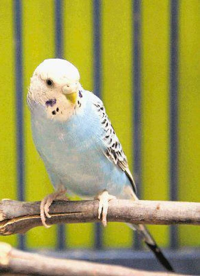 This playful stray parakeet was brought to the Pearland Animal Control Adoption Center on July 8. Photo: Kristi Nix