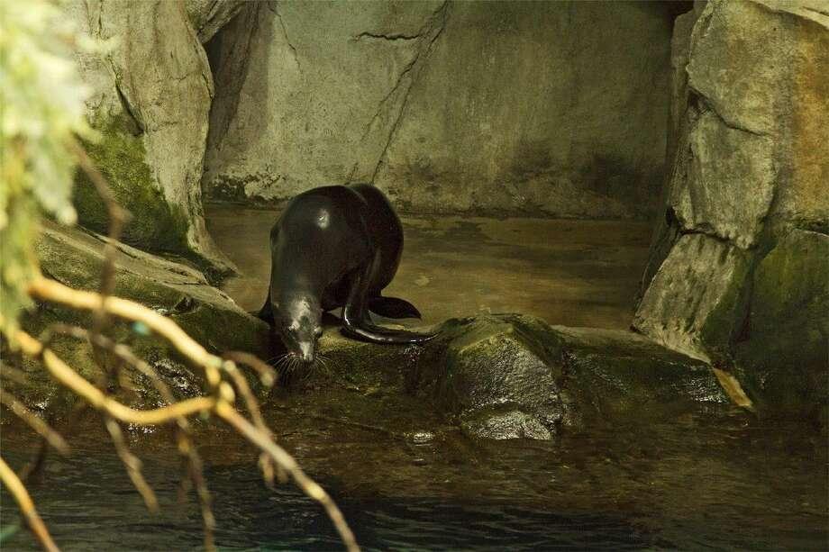 Sam the California Sea Lion enters the Aquarium Pyramid at Moody Gardens. Photo: Courtesy Photo