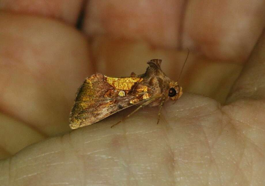 Shown here in a photo taken by TRNWR Manager Stuart Marcus during Moth Night Out is an Argyrogramma verruca, also called a Golden Looper. It is one of the 80 different moth species seen at the refuge headquarters on Saturday night, July 23. Photo: Stuart Marcus