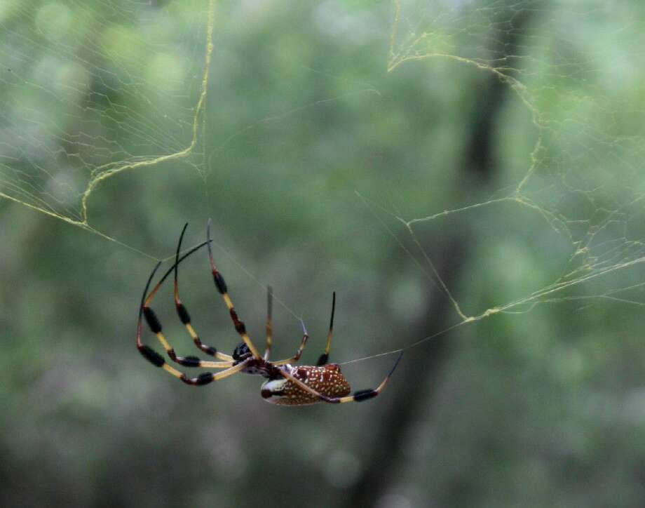 Spiders and other creature in TexasA recent study found that spiders consume between 400 and 800 million tons of insects annually.Click through to see a survival guide on Texas' spiders and other creatures. Photo: Robert Avery