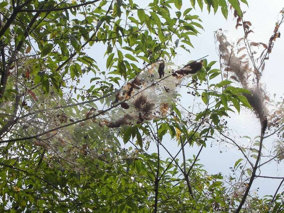 According to Roger Lee, an education coordinator and naturalist at Jesse Jones Park in Humble, the web structures present in the area's trees are most likely made by fall webworms who tend to make webs at the end of tree branches.