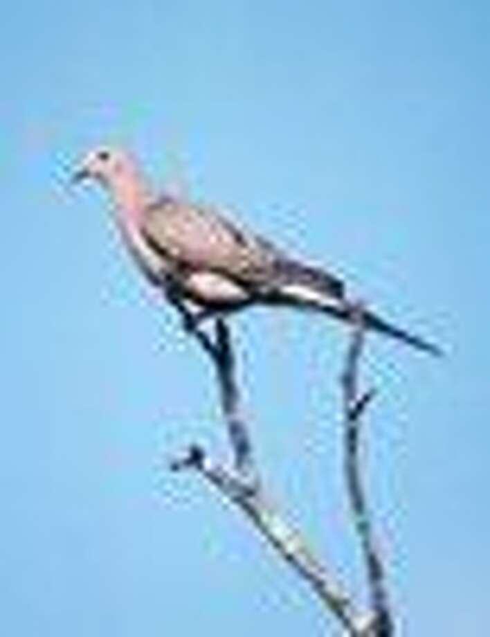 Texas Dove Hunting Prospects Bright Longer Season Lots Of Birds