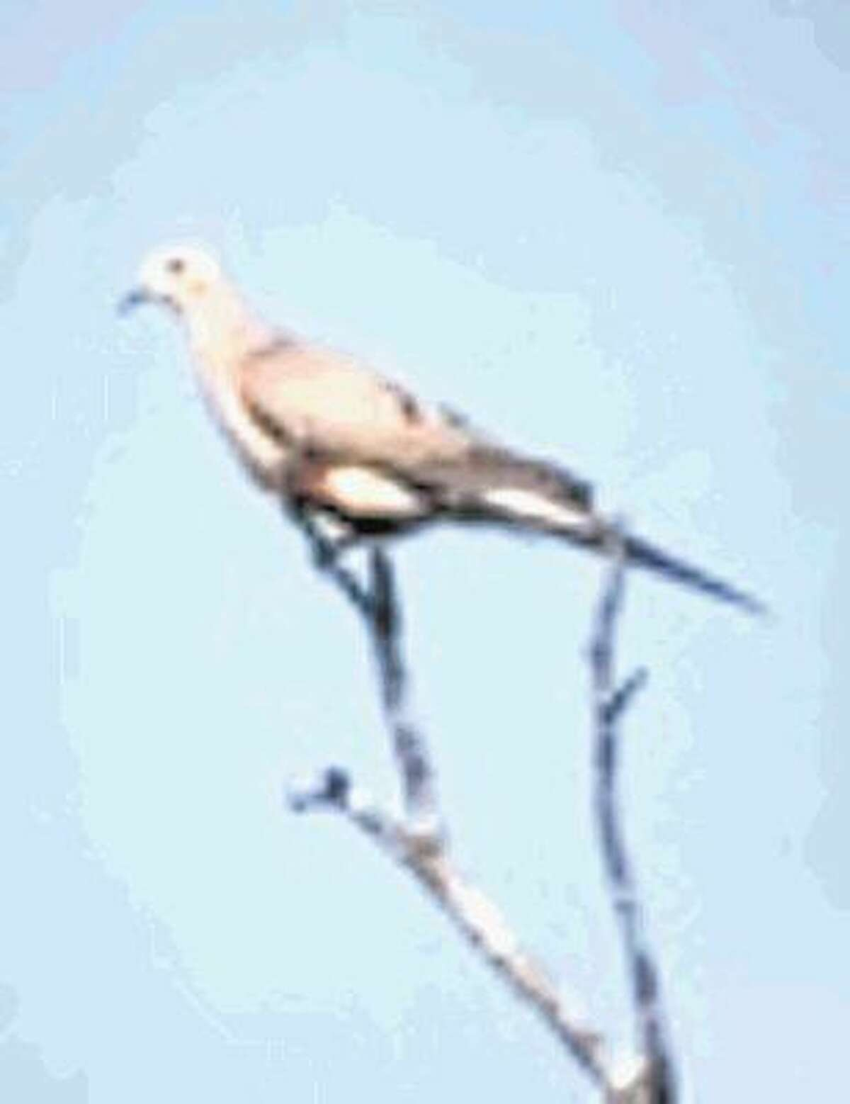 """Texas Parks and Wildlife has released its """"Dove Forecast 2016."""" For those eager at the opening of dove season last week, this year's season is 20 days longer. More than 30 million mourning doves are in Texas. Texas Parks and Wildlife reports. See the Youtube link at https://youtu.be/2yq_KGIJcrU"""
