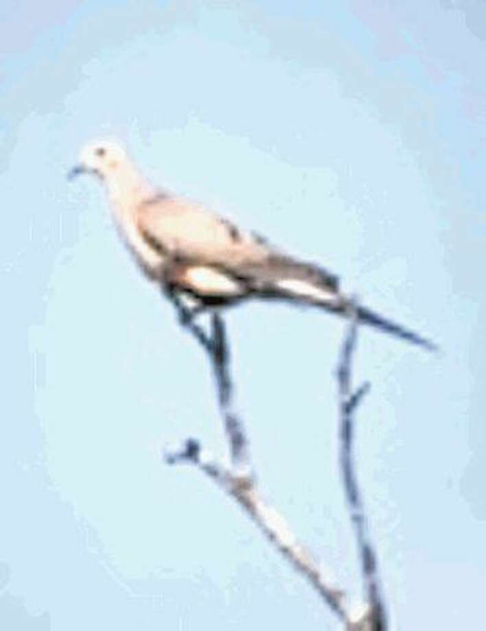 "Texas Parks and Wildlife has released its ""Dove Forecast 2016."" For those eager at the opening of dove season last week, this year's season is 20 days longer. More than 30 million mourning doves are in Texas. Texas Parks and Wildlife reports. See the Youtube link at https://youtu.be/2yq_KGIJcrU"