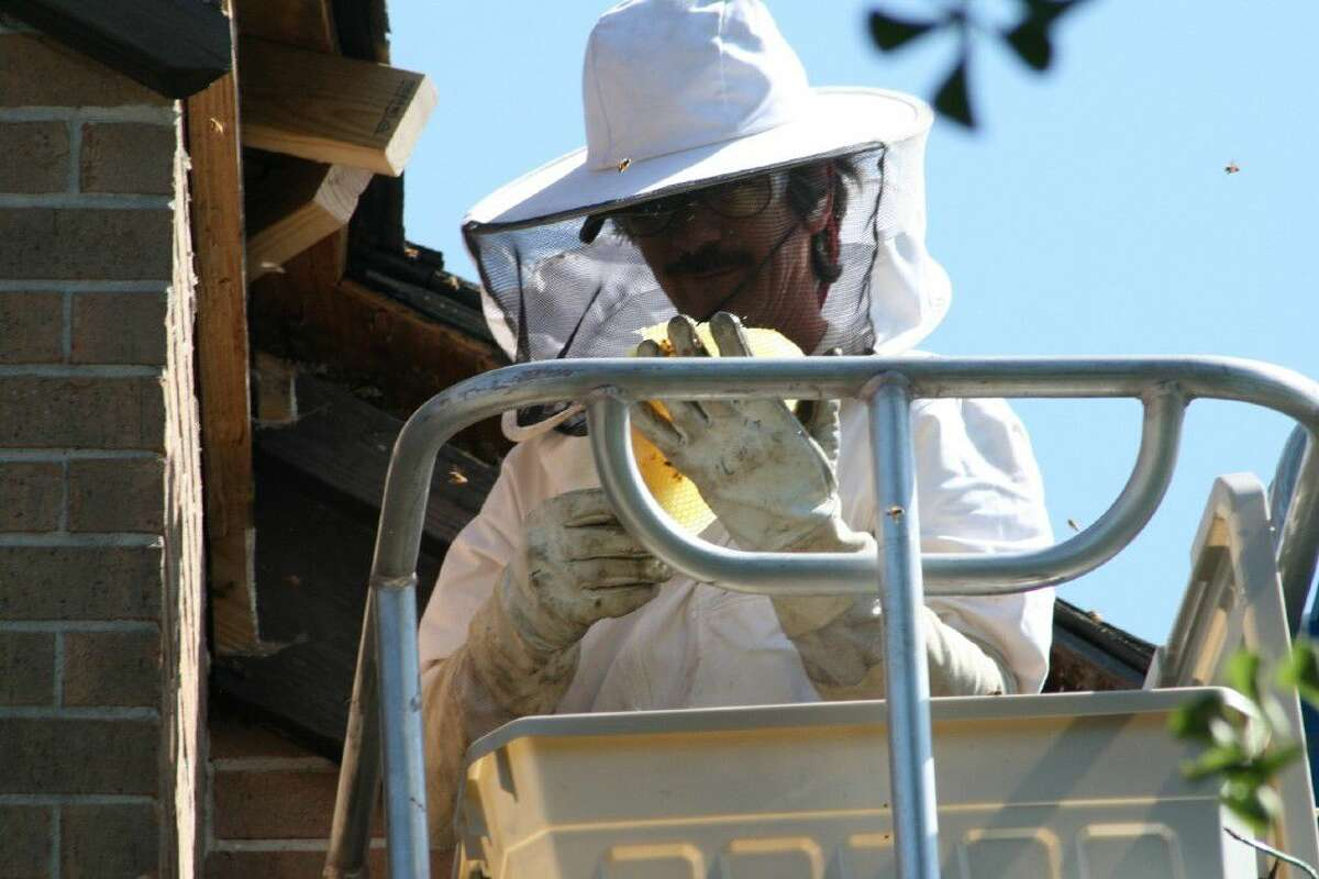 Cameron Crane of Liberty County Beekeepers performs a bee removal. Crane says most of the bees he encounters are European bees that have not been Africanized.