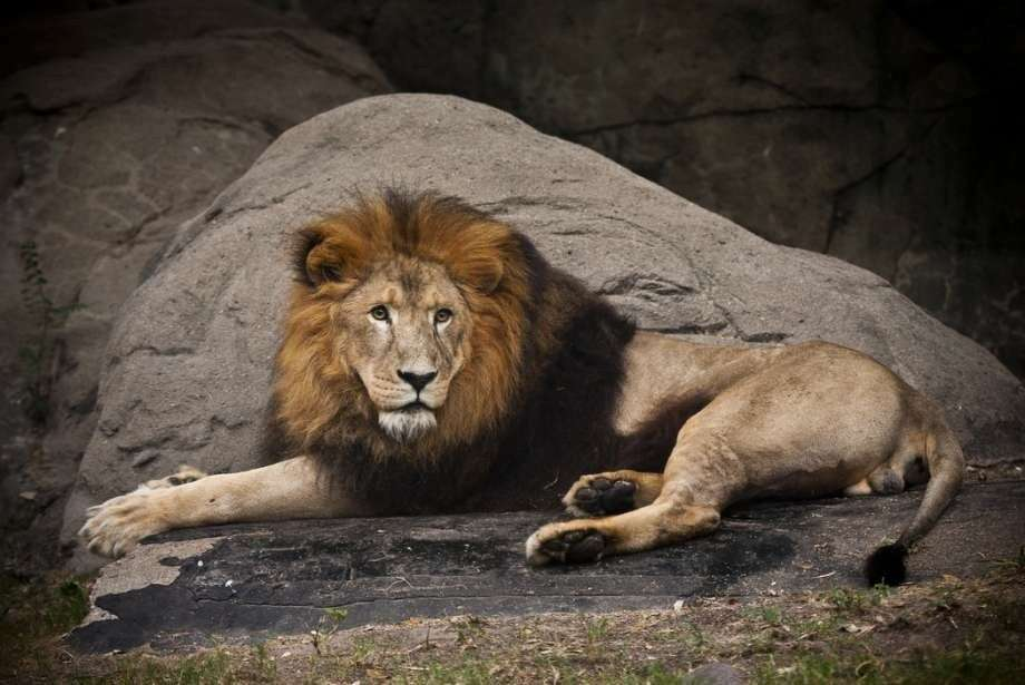 On Wednesday, Sept. 14, 2016, the Houston Zoo announced that Jonathan, the zoo's 18-year-old male lion, had died after medical staff discovered a severe blood clotting issue and a low white blood cell count. He arrived at the zoo in 2006 and was a hit with patrons. Photo: Stephanie Adams/Houston Zoo