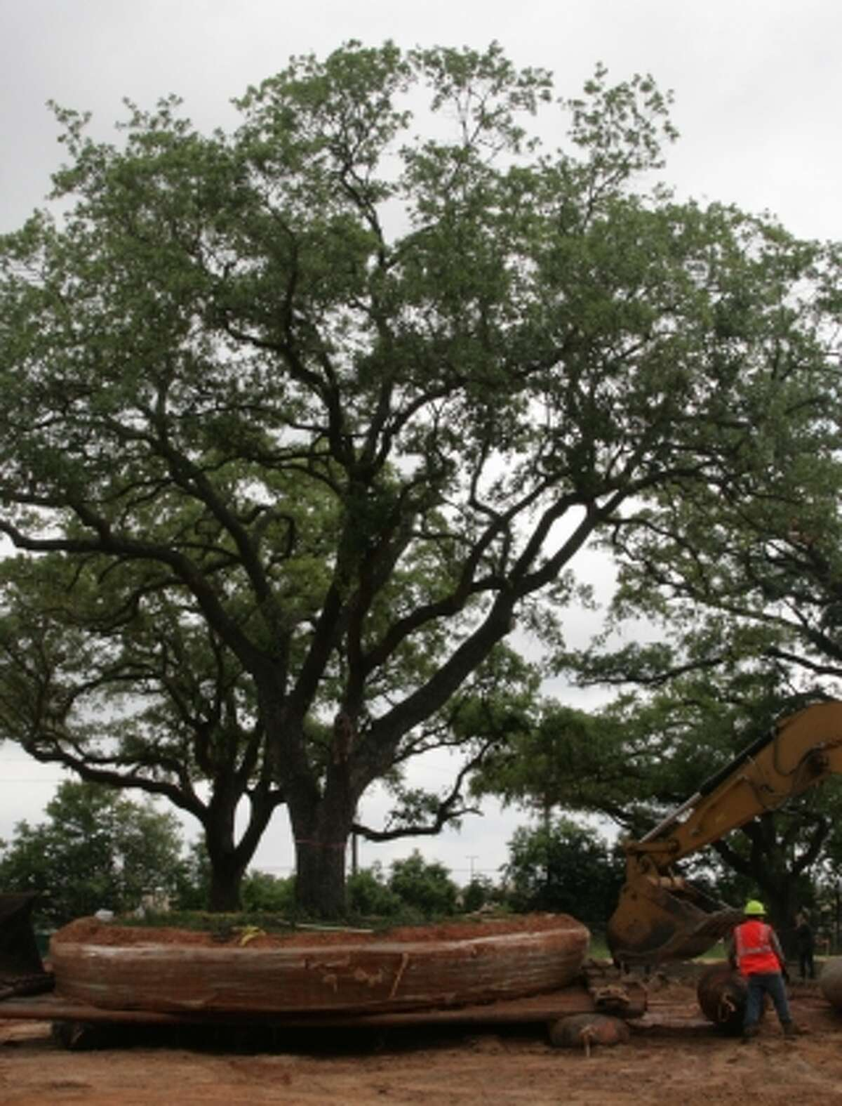 Two century-old, 60-foot tall live oak trees were relocated to make way for the Wildwood Corporate Centre II office building at 480 Wildwood Forest in Spring.