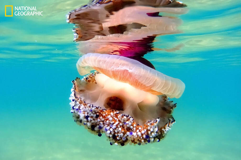 Cotylorhiza Tuberculata, aka Mediterranean Jelly or (more friendly...) Fried Egg Jelly, is pretty common throughout Mediterranean Sea. Its stings are totally harmless to humans yet its beauty is absolutely contagious ... Photo: Stefano Spezi