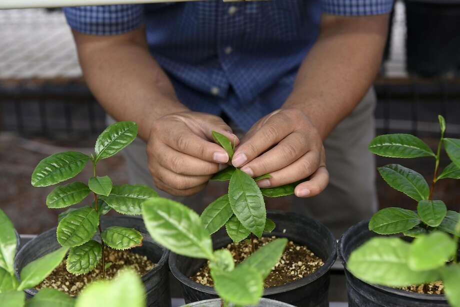 Roy Fong looks over green tea growing in a greenhouse at his farm. Photo: Michael Short, Special To The Chronicle