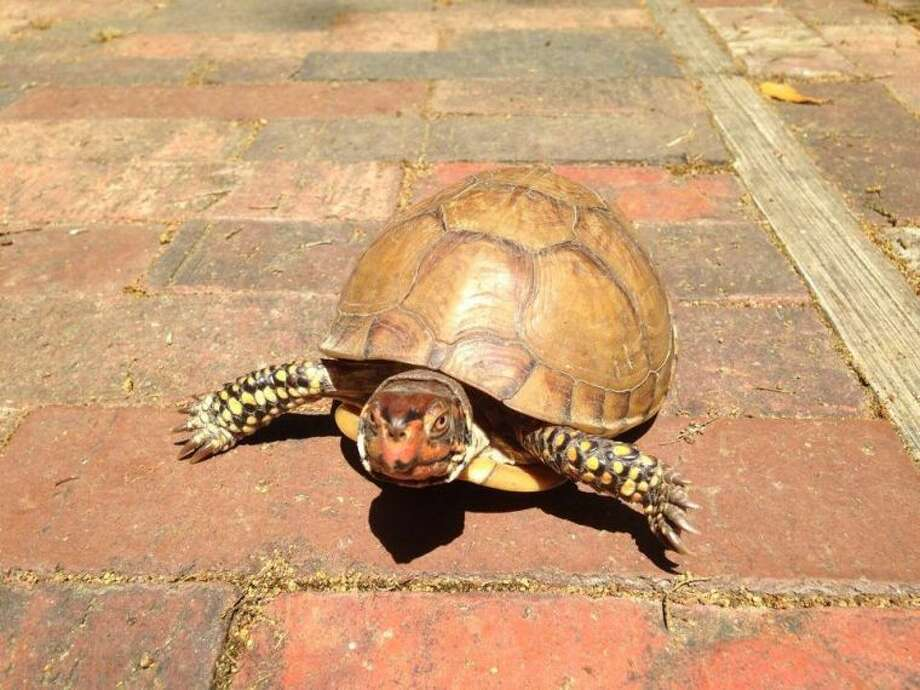 This Three-Toed Box Turtle was recently spotted in Russ Pitman Park by Nature Discovery Center Naturalist Eric Duran. Families can learn more about these and other turtles at NDC's Family Nature Night beginning at 6:30 p.m. Wednesday, July 9. The center is located at 7112 Newcastle in Bellaire.