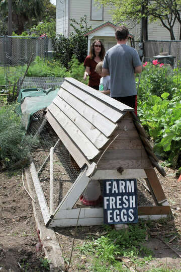 Hatching popularity of backyard chicken coops pervades