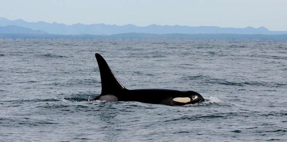 The survival of Orca whales in Puget Sound depends on recovery and restoration of chinook salmon runs in Washington's interior waterways.  The Trump administration is proposing to slash the federal Puget Sound cleanup budget by 93 percent. Photo: AP