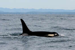 In this Feb. 23, 2016, file photo provided by NOAA Northwest Fisheries Science Center, an orca whale known as L95 swims in the Pacific Ocean near La Push, Wash., shortly before being fitted with a satellite tag. In April, federal biologists temporarily halted tagging endangered killer whales in Puget Sound after the orca was found dead with fragments of a dart tag lodged in its dorsal fin. On Wednesday, Oct. 5 an expert panel says a dart tag deployed on the whale by federal biologists was the source of a fungal infection that contributed to its death. Experts concluded a fungal infection that entered the animal's bloodstream at the wound contributed to the whale's death. (NOAA Northwest Fisheries Science Center via AP, File)