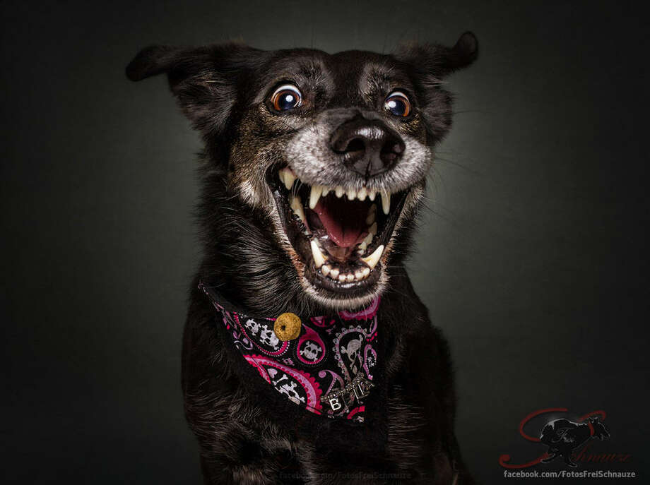 German photographer Christian Vieler captures hilarious photos of dogs' reactions - whether happy, sad or confused - while they try to catch treats in the air. Photo: Christian Vieler