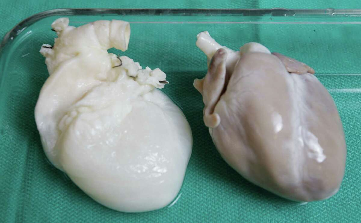 Cells have been removed from the pig heart at left, providing researchers at the Texas Heart Institute a framework to build a new heart with stem cells.