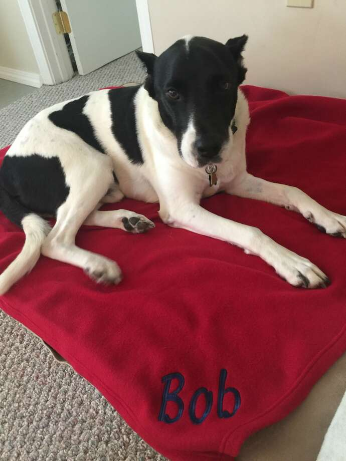 """Bob, a Houston rescue dog, is shown relaxing at his home in Cape Cod. Bob was on the brink of death after a wound was infected by maggots. Keep clicking to see his """"before"""" pictures. (Warning: graphic images) Photo: Courtesy Of Beverly And Dave Olsen"""