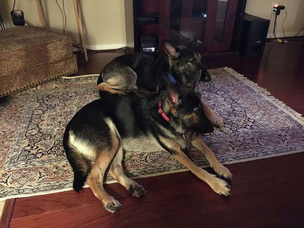 Cape Cod Animal Rescue Part - 17: Frannie, Foreground, Relaxes At Her Houston-area Home With Another Adopted  Dog,