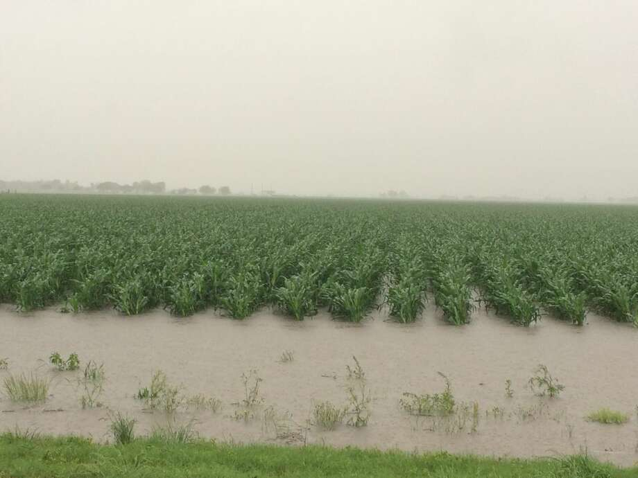 Scott Willey/Texas A&M AgriLife Extension Service A flooded corn field in Fayette County where around 1,500 acres of crops were swept away or drowned out by flooding earlier this month.