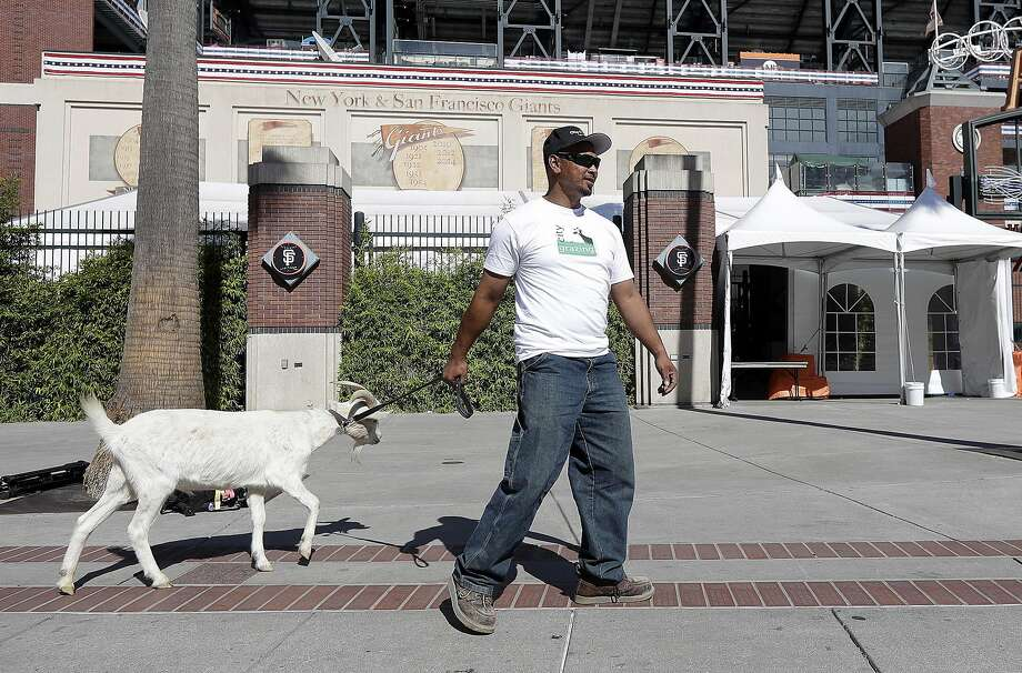 Rodnel Magat walks with a goat outside of AT&T Park before Game 4 of baseball's National League Division Series between the San Francisco Giants and the Chicago Cubs in San Francisco, Tuesday, Oct. 11, 2016. (AP Photo/Marcio Jose Sanchez) Photo: Marcio Jose Sanchez, Associated Press